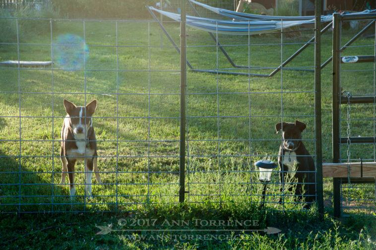 These McNabs are certain I need their help putting the goats back into their pen. It will be a couple more months before Wyatt's ears stand up permanently.