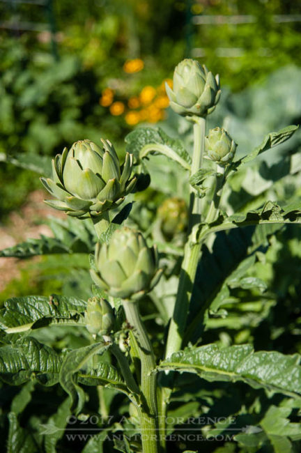 You can grow artichokes as annuals in a high-altitude, zone 6 garden.