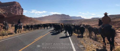 Our New Yorker friends were treated to some real cowboying. This family drives cattle through Capitol Reef National Park twice a year between their summer and winter grazing lands.
