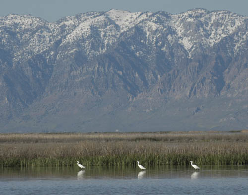 Snowy Egrets on the Great Salt Lake with Wellsville Moutains background